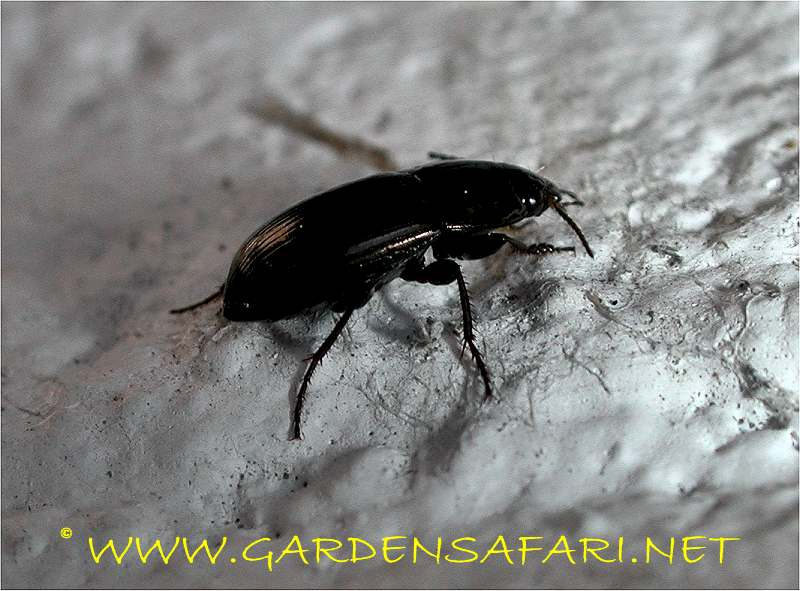 Gardensafari Big Beetles and other insects (with lots of